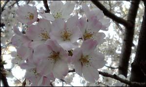 Sakura_akebono