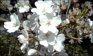 Sakura_sendai